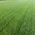 Quality Lawn - Lawn Buffalo
